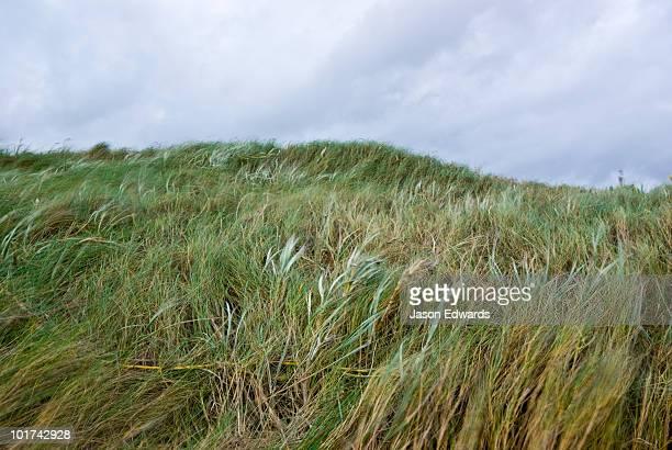 Winter storm winds buffet a sand dune covered in Marram Grass.