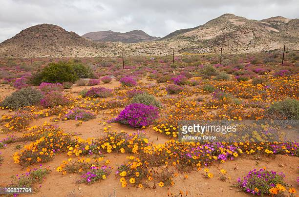 a sandy roadside verge is covered by colourful flowers during the flowering season on the west coast, south africa - ナマクワランド ストックフォトと画像