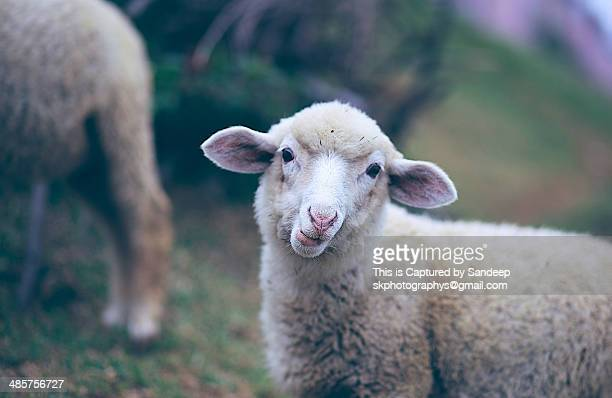 Sandyno breed sheep