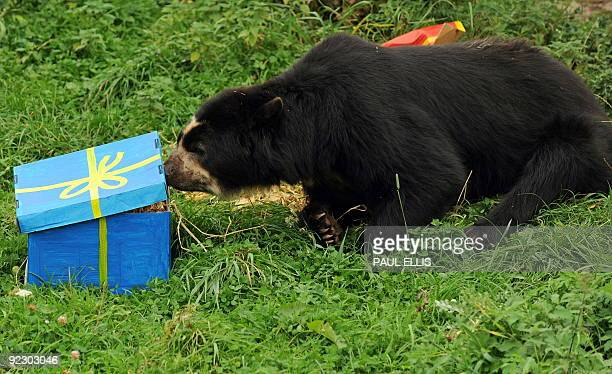 Sangay a spectacled bear opens presents at Chester Zoo in Chester northwest England on September 28 during a photocall to preview the zoo's winter...