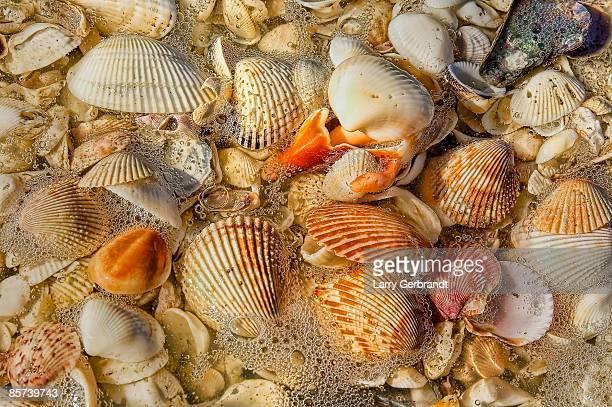 Sanibel Shells after the wave