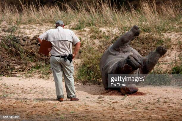 SANParks crime scene investigators examine a recently poached rhino carcass on September 14 2014 in the Kruger National Park South Africa A...