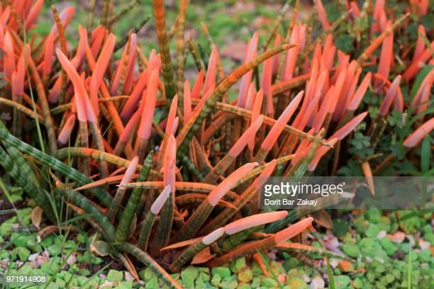 Sansevieria Cylindrica - orange