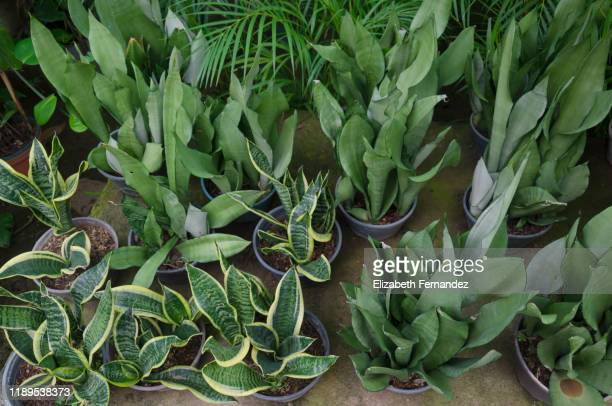 sansevieria trifasciata growing in garden center. plants are for sale in nursery. - sanseveria trifasciata stock pictures, royalty-free photos & images
