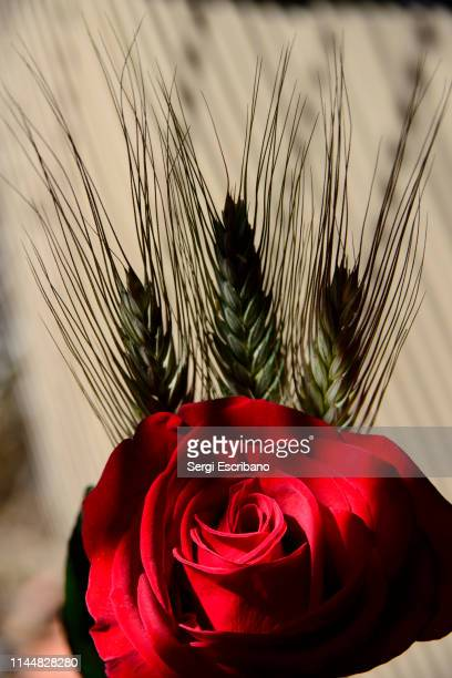 sant jordi's day - roses catalonia stock pictures, royalty-free photos & images
