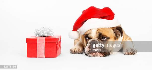 Santa bulldog wants to open his present