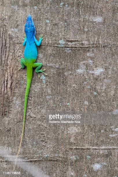 santa clara, cuba, cuban false chameleon or knight anole - santa clara cuba stock pictures, royalty-free photos & images