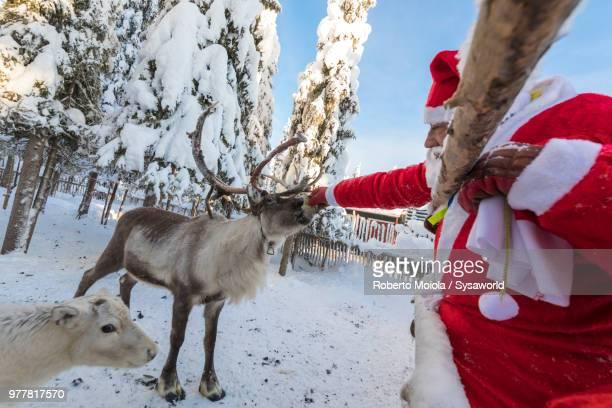 santa claus feeding reindeer in the snowy forest, ruka (kuusamo), northern ostrobothnia region, lapland, finland - babbo natale slitta foto e immagini stock