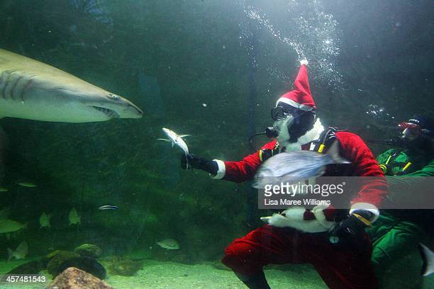 Santa Claus feeds a shark during a visit to the Manly SEA LIFE Sanctuary on December 18 2013 in Sydney Australia