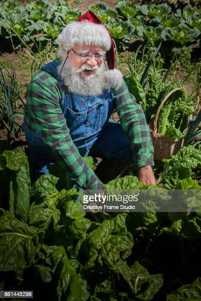 Santa Claus harvesting happily his vegetables garden