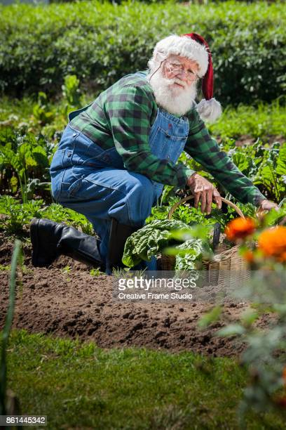 Santa Claus harvesting his vegetable garden with his wicker basket