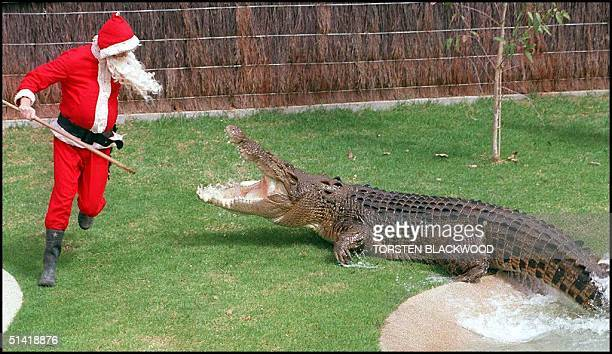 Santa Claus is attacked while trying to feed a chicken to 'Eric' a fivemetre maneating saltwater crocodile during the Christmas holiday season at the...