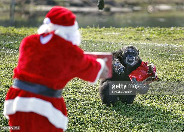 Santa Claus offers a gift to a chimpanzee during the 'Christmas with the Chimps' event at Lion Country Safari in West Palm Beach Florida on December...