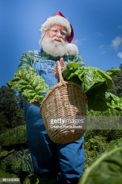 Santa Claus walking thru his vegetable garden holding a wicked basket full of chard leaves