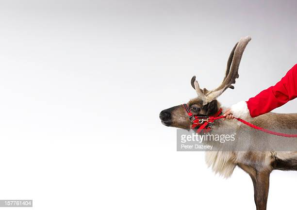 santa claus with reindeer and copy space - rentier stock-fotos und bilder