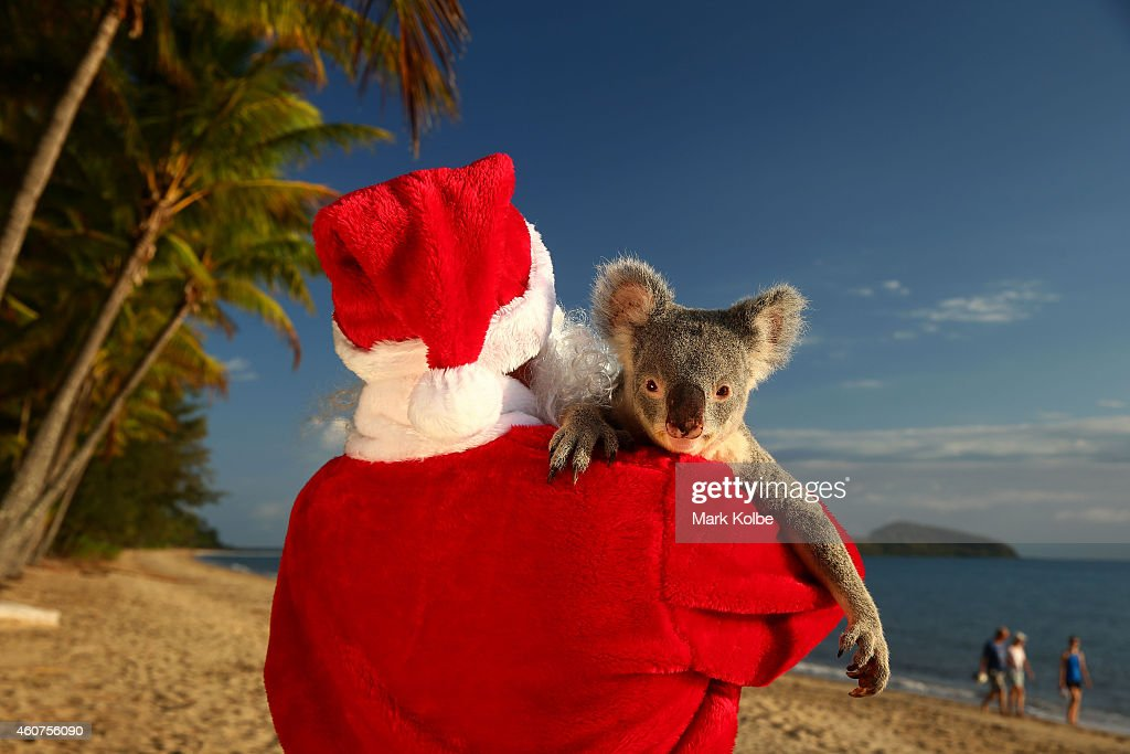 Santa couldnt resist a cuddle from his little helper, a koala named Forest from Cairns Tropical Zoo in Queensland, Australia. Queensland wildlife sanctuaries are the primary places in the world where people can hold a koala. Koalas are native to Australia. A koala baby is called a joey (not a cub) and when born, is around the size of a jelly bean, is blind and hairless and weighs around 0.5 grams (0.02 oz). The koala joey wont emerge from its mothers pouch until its around six months old.