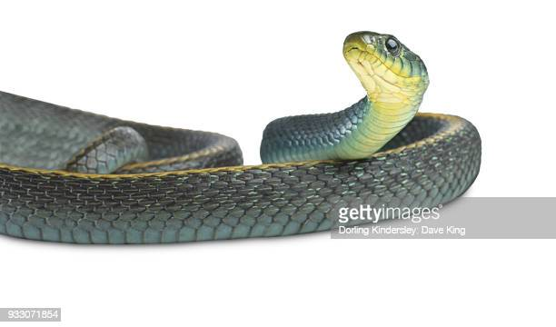 60 Top Garter Snake Pictures, Photos, & Images - Getty Images