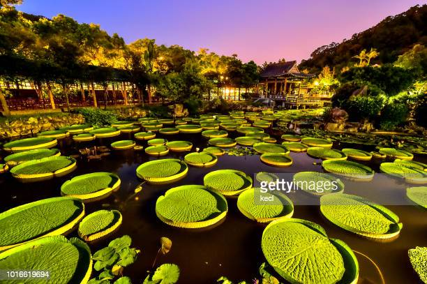 santa cruz waterlily  of sungai park - taipei stock pictures, royalty-free photos & images