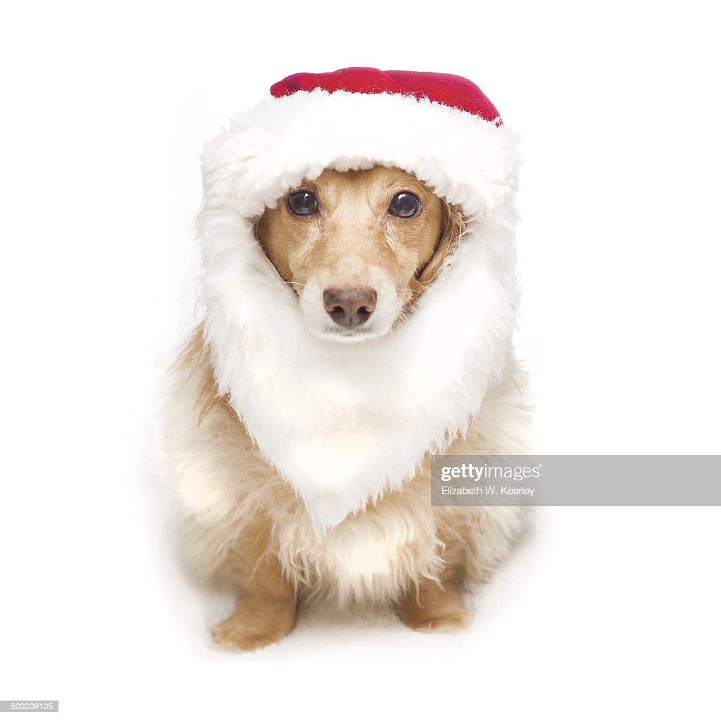Santa dog : Stock Photo