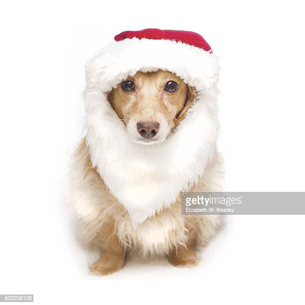 santa dog - dachshund holiday stock pictures, royalty-free photos & images