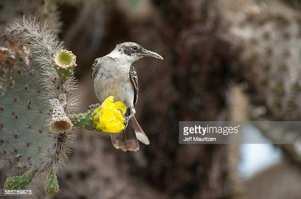 A Galapagos mockingbird perches on a cactus flower with pollen on its bill.