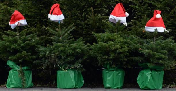 start of christmas tree season in brandenburg
