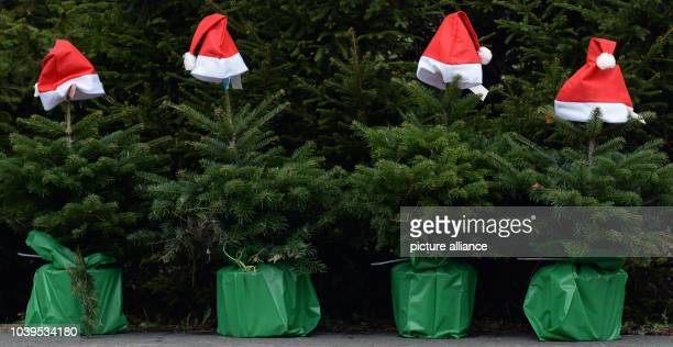 santa hats on christmas trees at a christmas tree farm in werder germany 21 november 2014