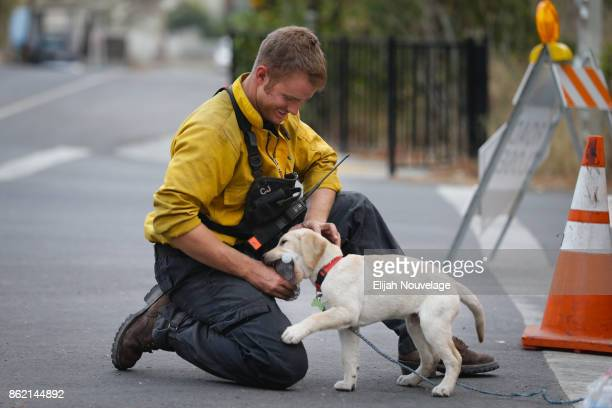 Santa Maria firefighter Cody Joy plays around with Lucky a 13week old yellow Labrador puppy on October 16 2017 in Glen Ellen California At least 40...