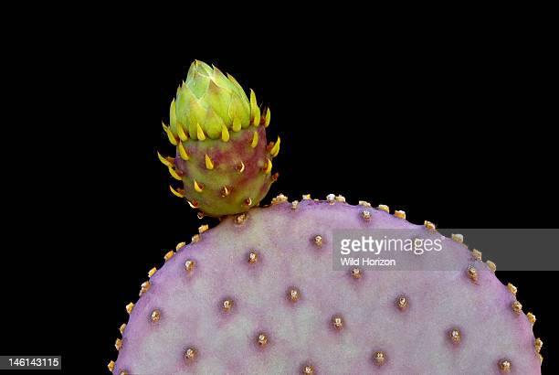 Santa Rita prickly pear cactus pad with tufts of tiny spines glochids and one flower bud bristling with small fleshy vestigial leaves Opuntia...