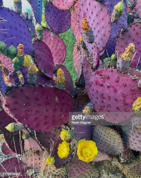 santa rita prickly pear - sonoran desert stock pictures, royalty-free photos & images