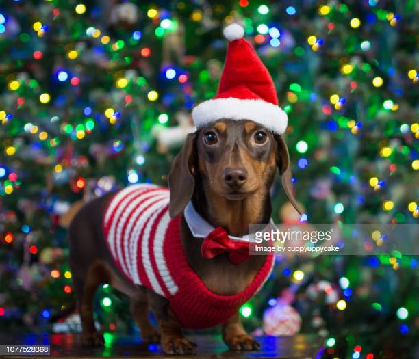 santa stripes - dachshund holiday stock pictures, royalty-free photos & images