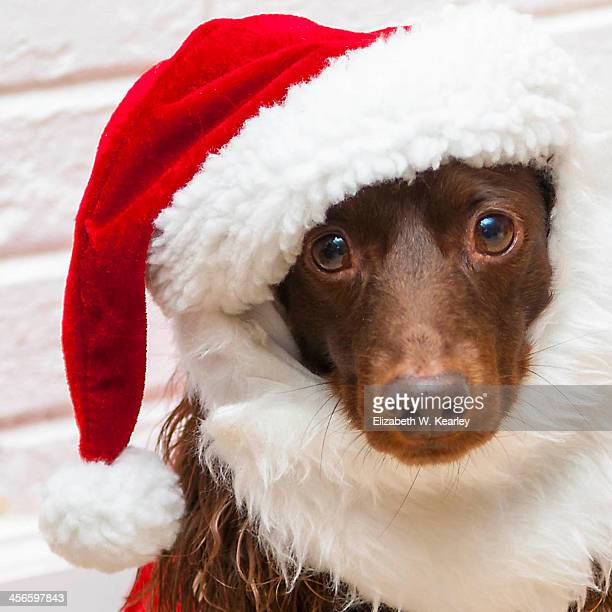 santa teddy - long haired dachshund stock photos and pictures