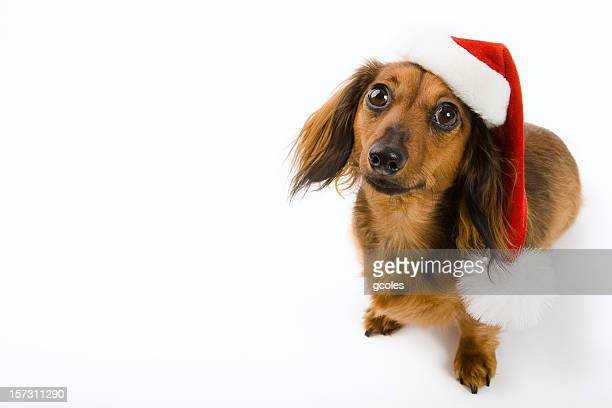 santas little helper - dachshund christmas stock pictures, royalty-free photos & images