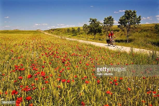 Santiago's Way Jacobean Routes French Way A pilgrim riding his bike through the poppy and wheat fields at the entrance of Bobadilla del Camino...