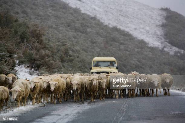 Santiago's Way Jacobean Routes French way Sheperd on a four by four vehicle with a herd of sheep going up from Las Herrerias de Valcarce to the...