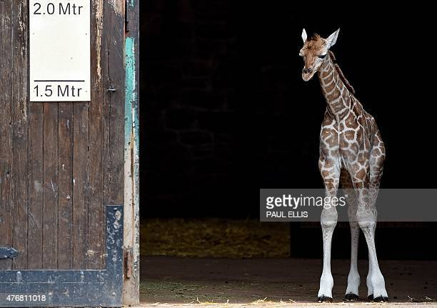 Sanyu a fiveday old Rothschild's giraffe is pictured during a photocall at Chester Zoo in northwest England on June 12 2015 Sanyu is the second...