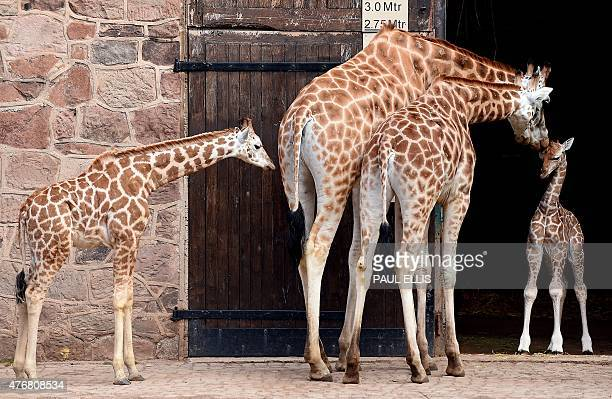Sanyu a fiveday old Rothschild's giraffe is pictured with mother 'Dagmar' father 'Meru' and half sister 'Zahra' during a photocall at Chester Zoo in...