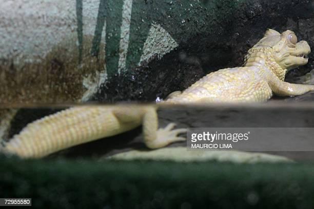 A tiny albino alligator rests inside its artificial habitat at 'Sao Paulo Aquarium' in Sao Paulo Brazil 09 January 2007 South America's first...
