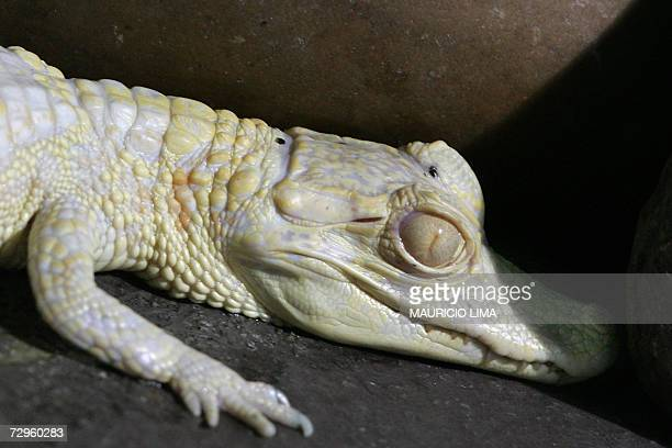 A tiny albino alligator rests inside its artificial habitat at 'Sao Paulo Aquarium' in Sao Paulo Brazil 09 January 2007 South America's first...