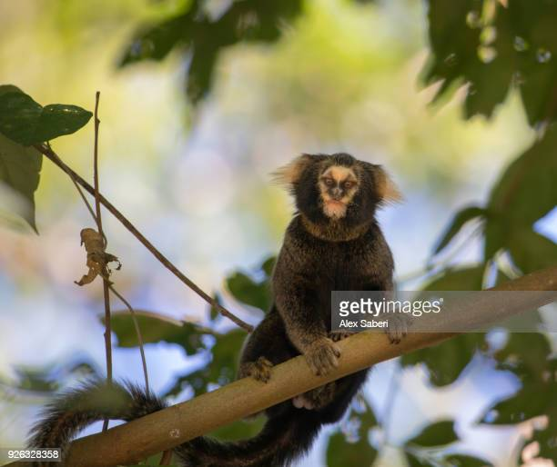 A common marmoset, Callithrix jacchus, rests in a tree in the Atlantic rainforest.