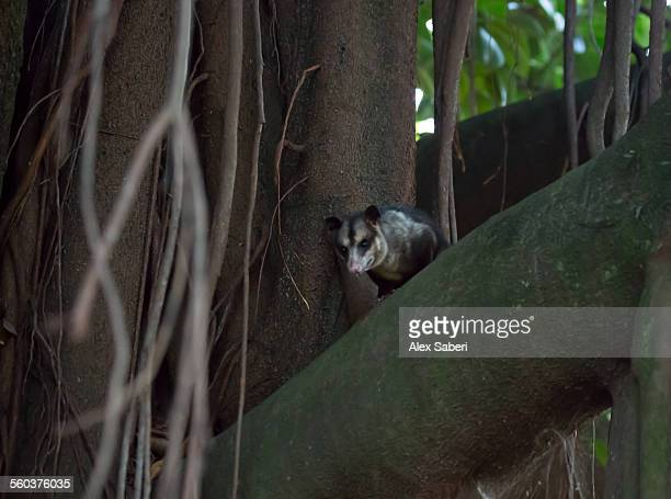 a common opossum hiding up a tree in ibirapuera park, sao paulo, brazil. - opossum americano foto e immagini stock