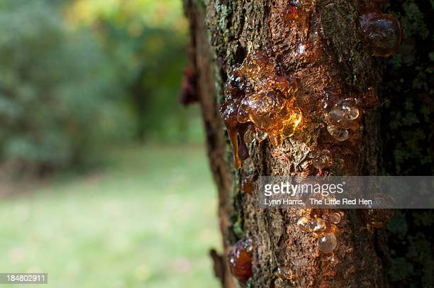 sap dripping from a tree