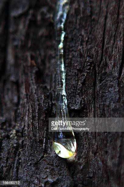 Sap runs down a tree in British Columbia