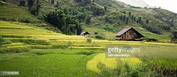 Sapa champs de riz