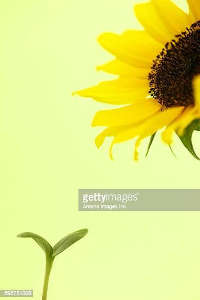 Sapling and sunflower
