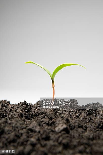 Sapling growing from soil