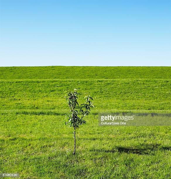 Sapling in field