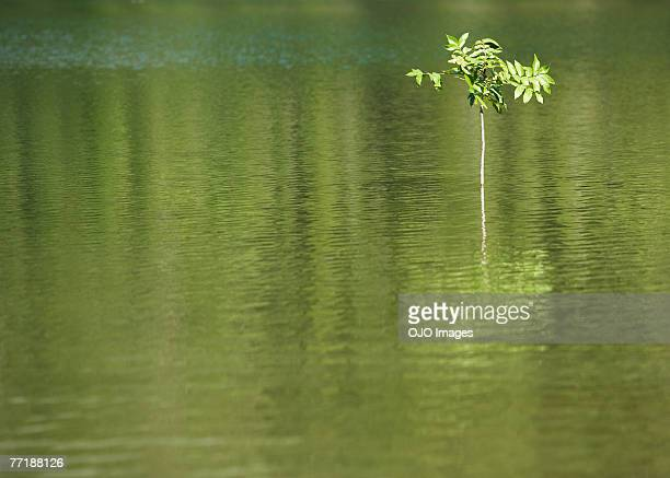 a sapling in the water - endurance stock photos and pictures