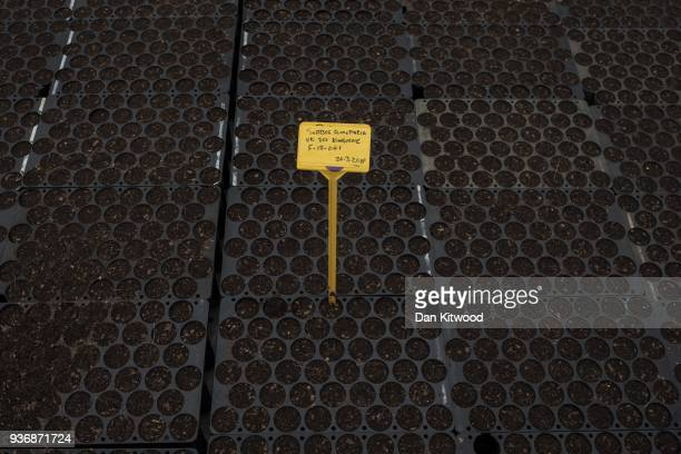 Saplings are propagated at Cheviot Trees before eventually being sent to the Doddington North site on March 21 2018 in Berwick Upon Tweed England The...