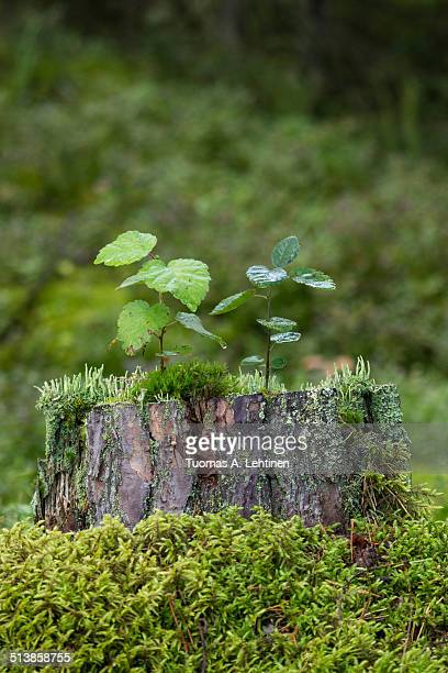 Saplings, moss and lichen on top of a tree stump